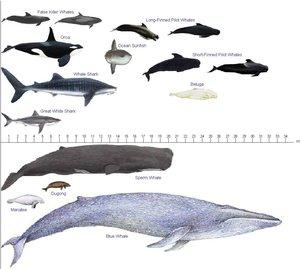 Blue Whale - Academic Kids - photo#21