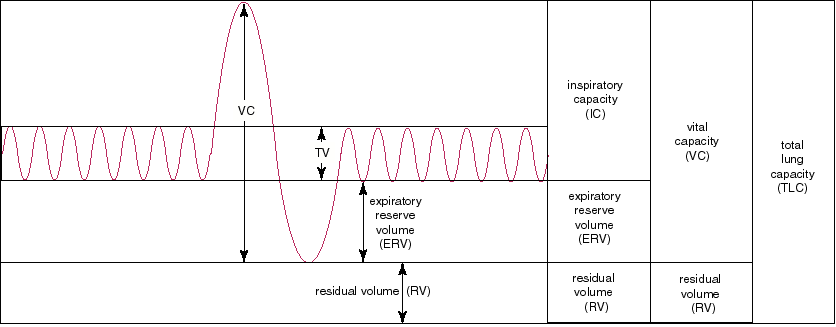 lung volumes